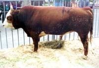 Kalmyk chovu dobytka