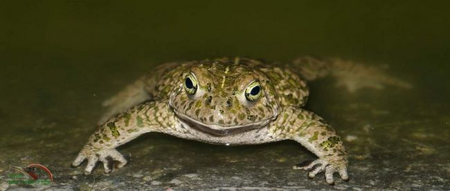 Камышовая жаба (Bufo calamita).