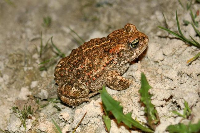 Эти жабы проявляют активность в ночное время, а днем они скрываются под камнями, в песке и норах.