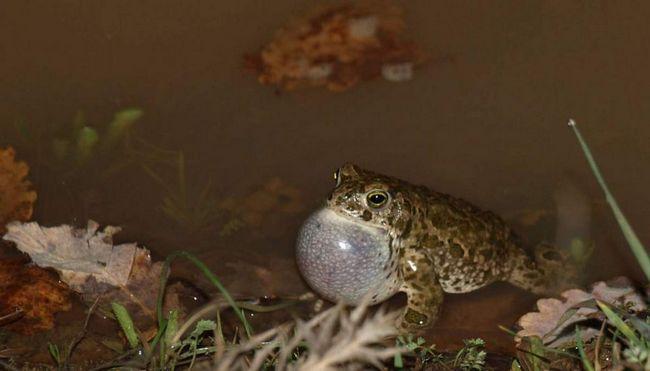 Массовое икрометание у камышовых жаб происходит в мае-июне. Днем особи обычно скрываются под водой на дне водоёма.