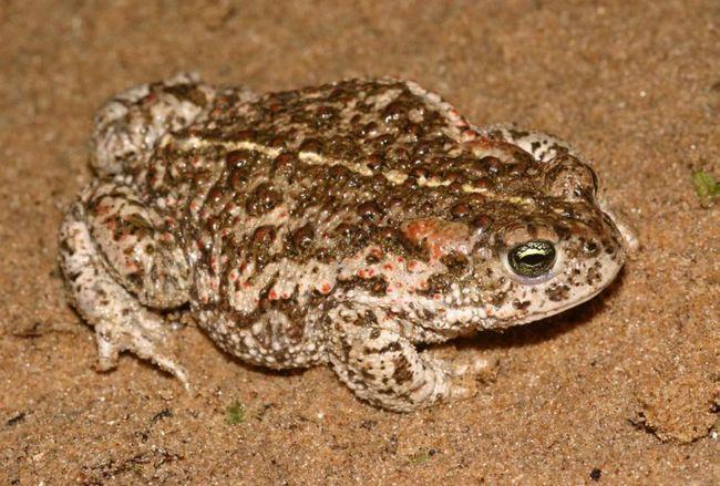 Половозрелость камышовой жабы наступает в возрасте трёх—четырёх лет, а продолжительность жизни 15—16 лет.