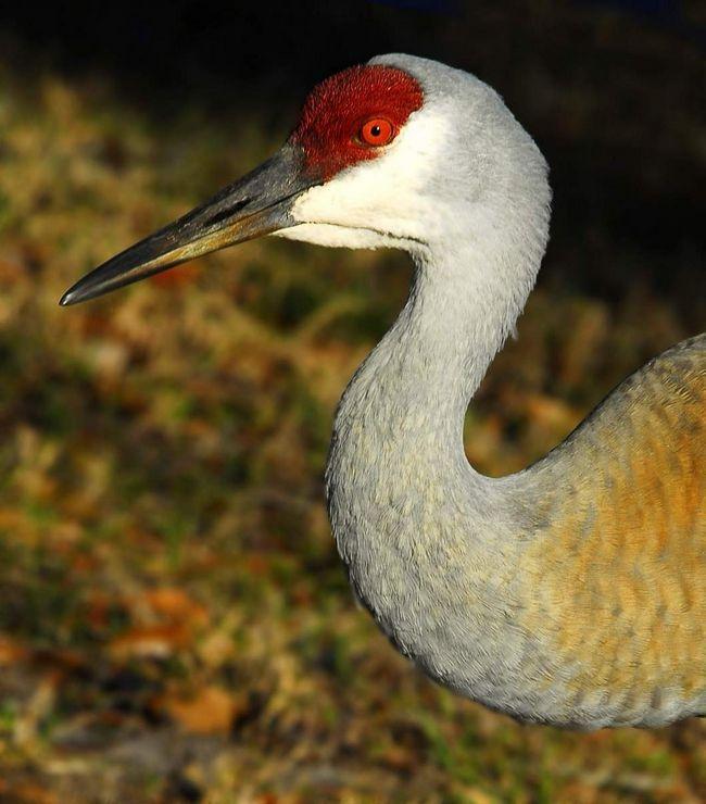 Этих птиц отличает своеобразный окрас.