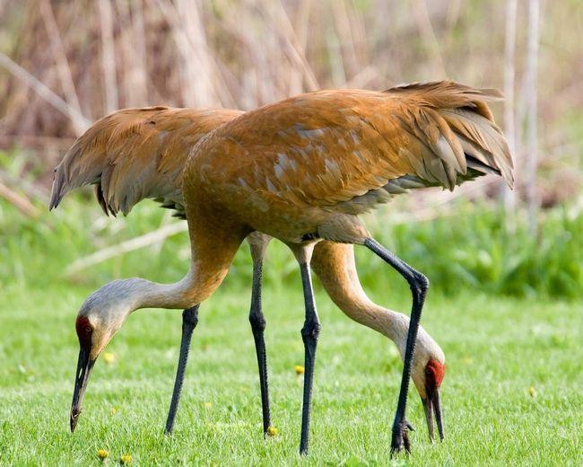 Журавли - грациозные птицы.