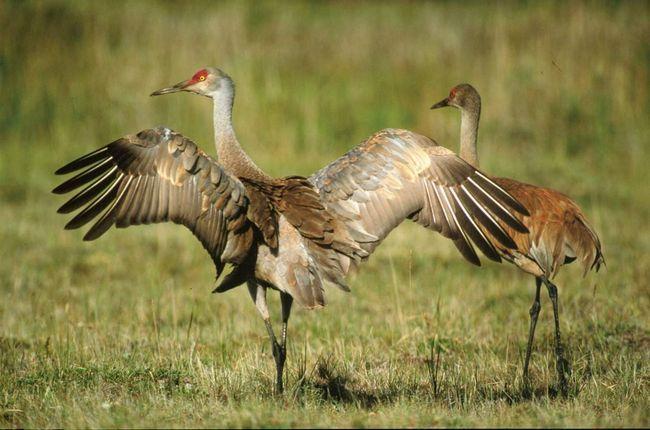 Журавли - всеядные птицы, но и на них тоже ведется охота.