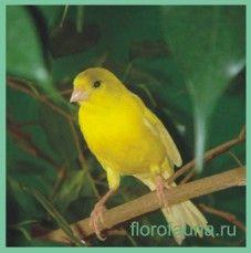 Канарейка- птица, которая поёт..