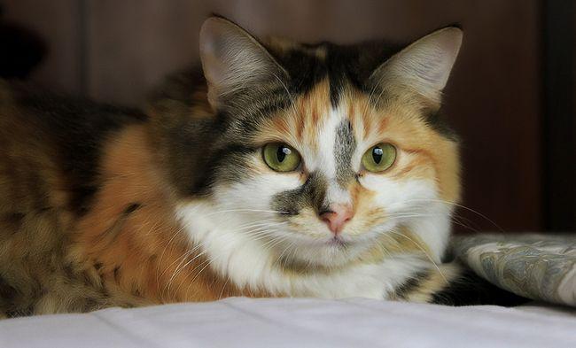 Кантарен для кошек