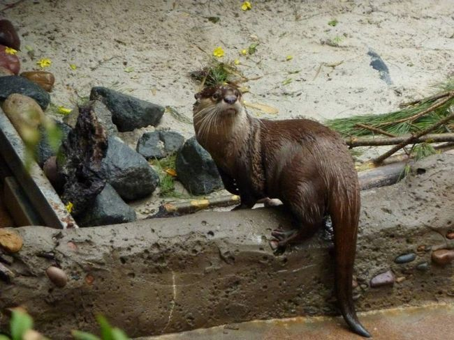 Osnova ishrane afričkih clawless vidra su rakovi, što ga grize jak kutnjaka.