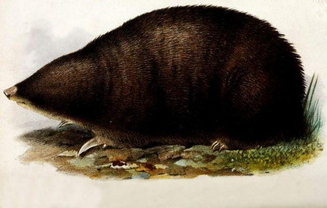 Cape zlatna mladež (Chrysochloris).