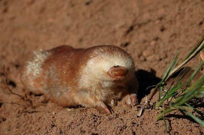 Pripadaju vrsta ovdje se nalaze u Južnoj Africi i vodi život naše mladeži