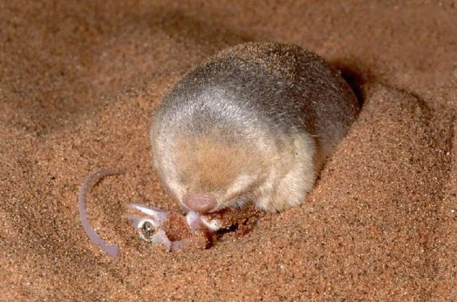 Tijela i tijela je zlatna mladež je uređen tako da životinje uspješno preživjeti u ekstremnim uvjetima pustinje.