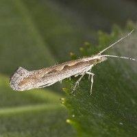 Varză molie
