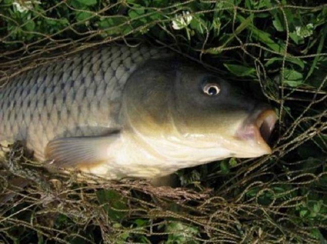 Už v prvom roku života karasekarpy váži pol kila, za ktorú dobre ocenili v sektore rybolovu.