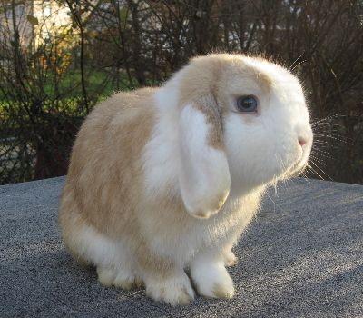 Patuljaste zečeve rasa ovaca