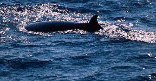 Pygmy pravo kit (lat. Caperea marginata)