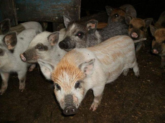 Гибридные свинки более выносливы и менее прихотливы, чем обычные.