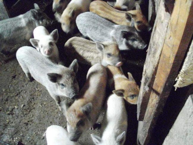Гибридные свиньи - кармалы - отличаются плодовитостью.