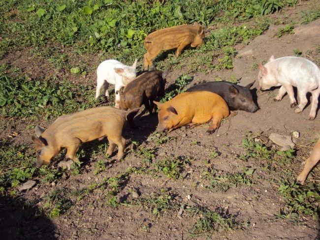 За полтора года кармалы набирают 200 кг веса, причем их мясо менее жирное, чем обычных свиней.
