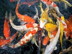 Koi šarana u akvariju