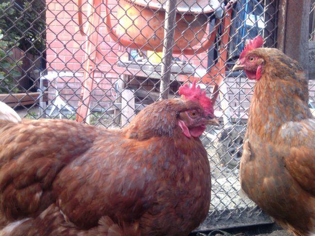 Звуки петухов и куриц