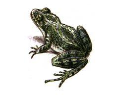 Caucasian Peršun Frog fotografija