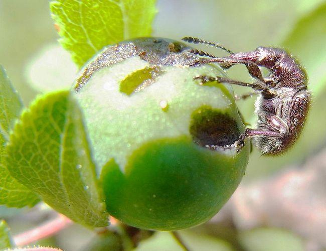 Invázia ovocné husi môže byť ponechaný bez úrody celých hektárov ovocných sadov.