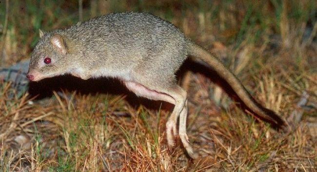 Кенгуровые крысы, потору (лат. Potoroidae)