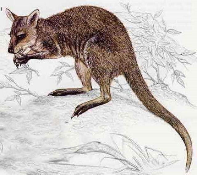 Кенгуру Маклея нуждается в дальнейшем изучении на всей территории обитания и распределения, а также уточнения таксономии.
