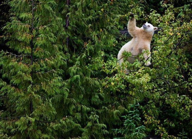 Kermode, nebo medvěd duch (lat. Ursus americanus kermodei)
