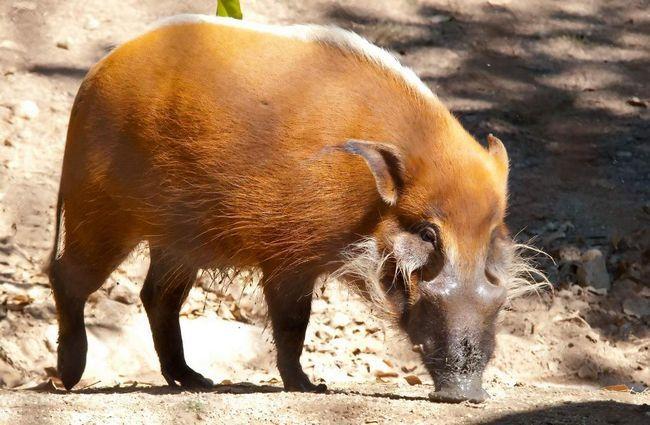 porci Bush (Potamochoerus Porcus).