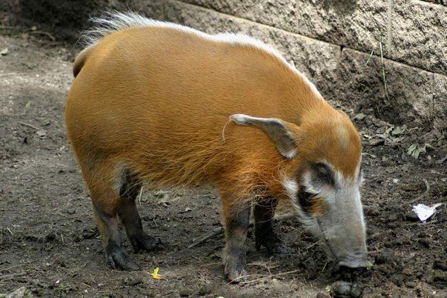porci Bush creste pana la 100-150 cm în lungime.