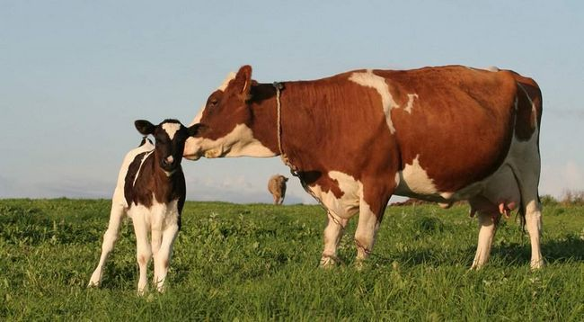 Vaca Niu Niu a dat naștere la un vițel.