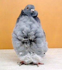 Китайские чайки (голуби)