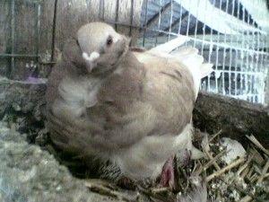 Китайская чайка голуби