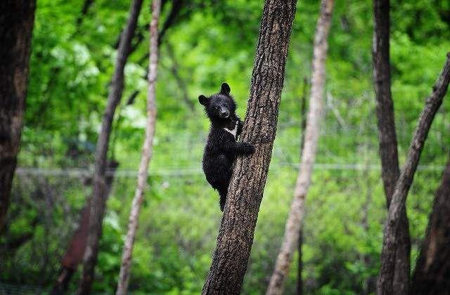 Čínský farmář zachránil štěně, které, jak se později ukázalo, byl himálajské medvěd.