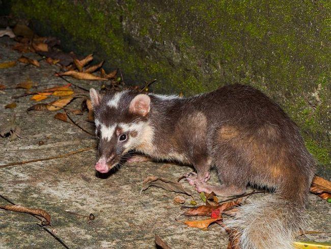 Ove životinje su aktivni prvenstveno noću i u sumrak.