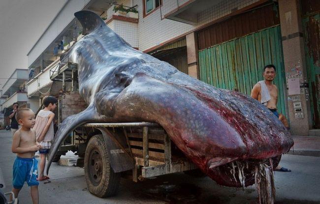 Kineski ribar uhvatio dva tona ajkula