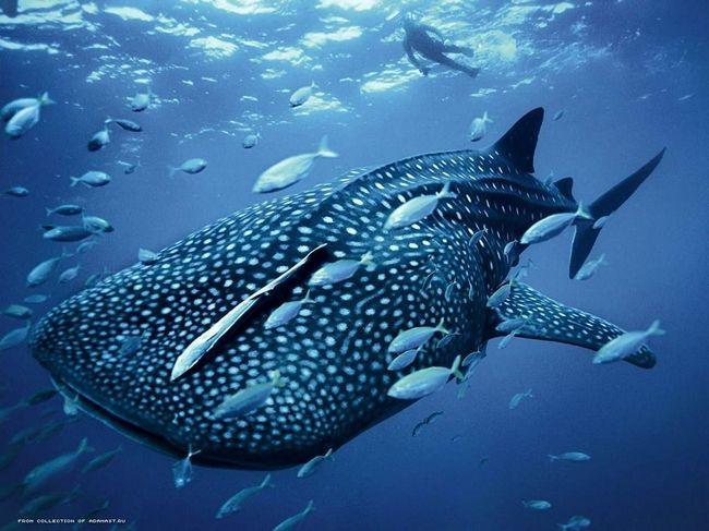 Kit ajkula okružen male ribe.