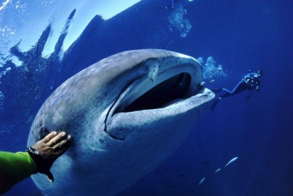Рыба-гигант в окружении исследователей (Amos Nachoum / Corbis).