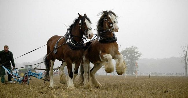 Clydesdale kone.
