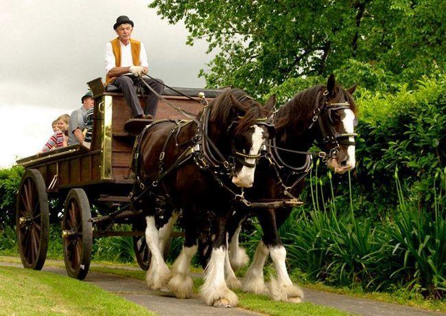Dvojica Clydesdale kone využitá k vozíku.