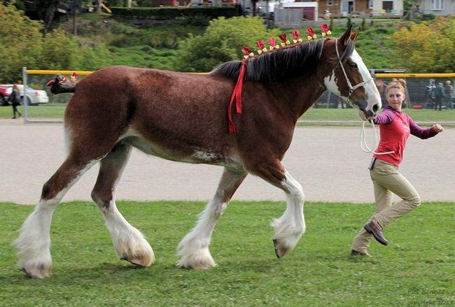 Clydesdale kone - plemeno zo Škótska.