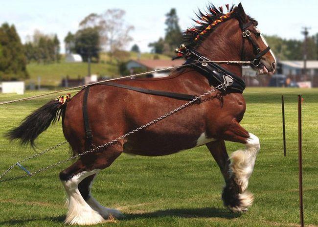Clydesdale kone majú vynikajúce charakter.