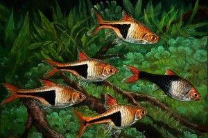 Клинопятнистая расбора: содержание в аквариуме
