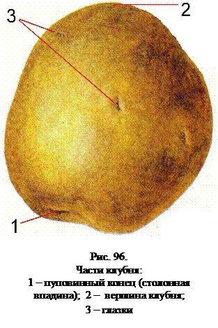 Krtola krompira