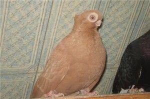 Кофейный турман (голуби)