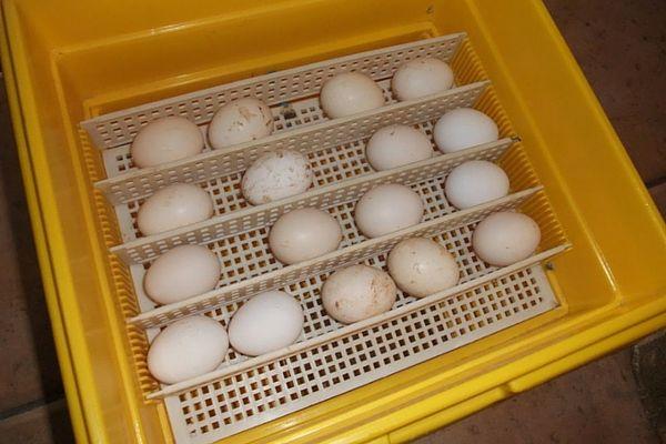 Produse din ouă într-un incubator