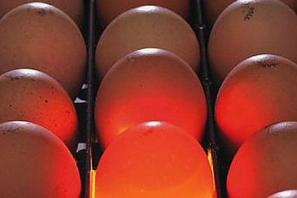 Bibilică dă produs de mare ou