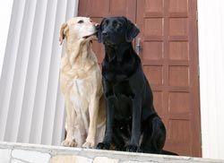 собаки целуются
