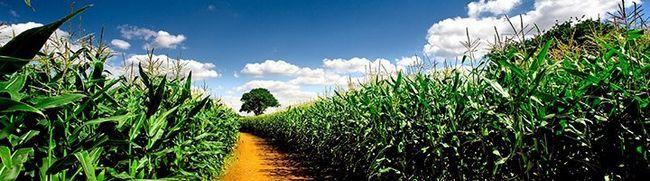 Кукурузное поле, rewalls.com
