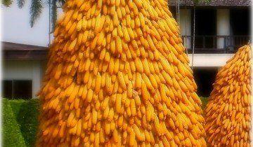 Необычное хранение кукурузы, newpix.ru
